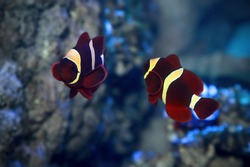 Spine-cheeked anemonefish Premnas biaculeatus, also known as the maroon clownfish. Marine fish