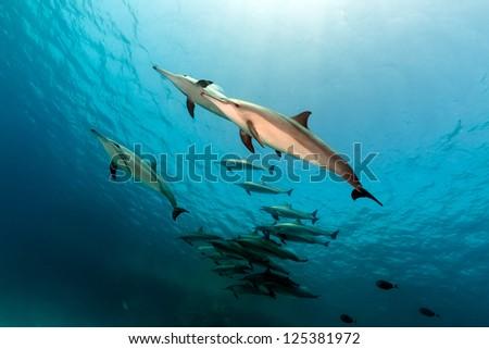 Spinner dolphin (stenella longrostris) pod in th Red Sea.