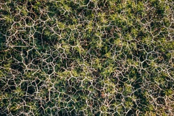 Spiny burnet or Sarcopoterium spinosum is a flowering perennial bush. Abstract nature fractal background