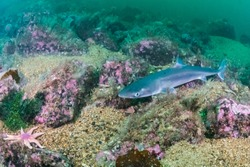 Spiny Dogfish (Squalus acanthias) at the south coast of Norway