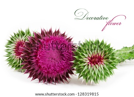 spiny flower isolated on a white background