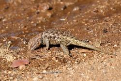 Spiny Lizard drinking water in Arizona