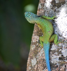 Spiny lizard, with very interesting shades of color on its skin full of scales.  Inhabits warm tropical weather.