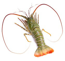 Spiny Lobster isolated on white background, Fresh Spiny Lobsters Asia Seafood in white background,