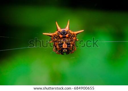 spiny orb weaver spider #684900655