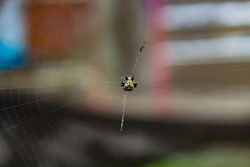 Spiny orb weaver spider the crab spider is making a web and will eat its prey in the wild forest