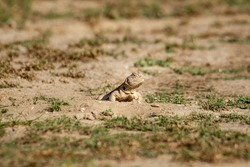 Spiny tailed lizards or Uromastyx in tal chhapar sanctuary rajasthan india