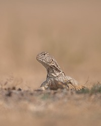 spiny-tailed lizards photograph in morning, specially in morning they are mor active