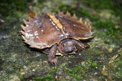 Spiny Terrapin, Spiny Turtle, Cogwheel Turtle,  on the rock with green moss, wildness forrest, rain forrest, Thailand