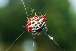 Spinybacked orb weaver spider (Gasteracantha cancriformis) macro - Pembroke Pines, Florida, USA