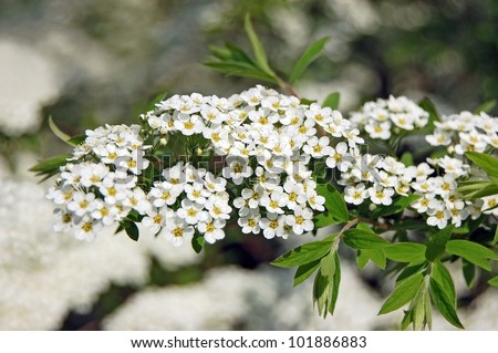 Free photos spiraea alpine spring flower white flowering shrub spiraea alpine spring flower white flowering shrub 101886883 mightylinksfo