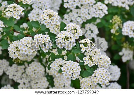 Free photos spiraea alpine spring flower white flowering shrub spiraea alpine spring flower white flowering shrub 127759049 mightylinksfo