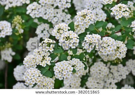 Free photos spiraea alpine spring flower white flowering shrub spiraea alpine spring flower white flowering shrub 382011865 mightylinksfo