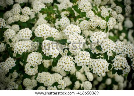 Free photos spiraea alpine spring flower white flowering shrub spiraea alpine spring flower white flowering shrubose up of a spiraea bush showing mightylinksfo