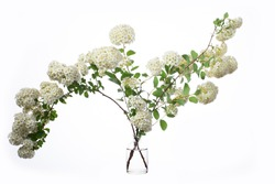 Spiraea cantoniensis (cape may or may bush) in a glass vessel with water
