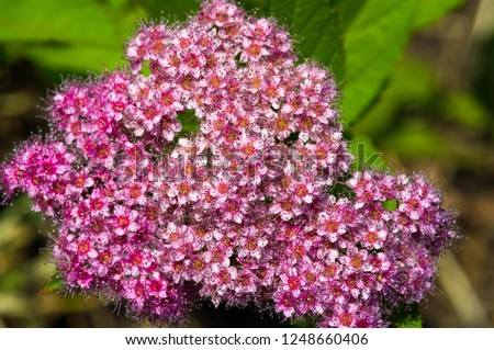 Spiraea japonica, Japanese meadow, Japanese spirea or Korean, is a plant in the family Rosaceae. Synonyms of the name of the species Spiraea bumalda #1248660406