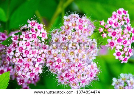 Spiraea japonica, Japanese meadow, Japanese spirea or Korean, is a plant in the family Rosaceae. Synonyms of the name of the species Spiraea bumalda