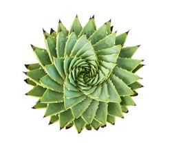 Spiral Aloe.Aloe polyphylla isolated on white background