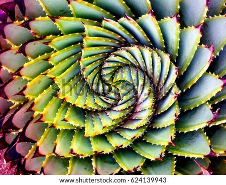 Spiral Aloe/Plant/Lesotho