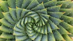 Spiral Aloe Vera Cactus, fractal background, spiral background