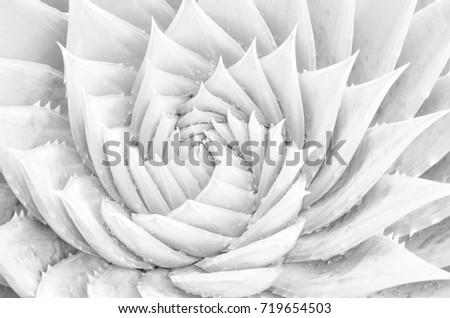 Spiral aloe vera with water drops, closeup,high-key, arty