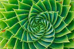 Spiral leafed plant