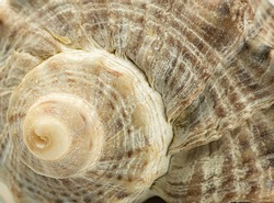 Spiral seashell close up. Abstract background, natural texture.