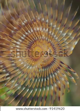 Spiral tube worm crown (Spirographis spallanzani)