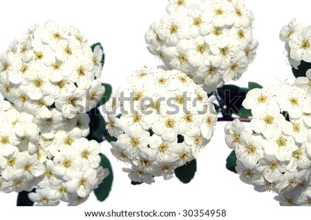 spirea blossoms isolated on white