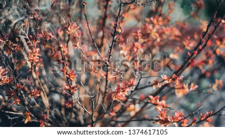 Spirea japonica in early spring. First spring flowers. Textured background. Springtime in country and garden plants. Nature concept. Spring garden. Young spring leaves on a Japanese spirea bush.