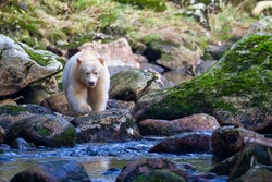 Spirit Bear searching for salmon in river, Pacific Coast, BC, Canada, October, 7,09