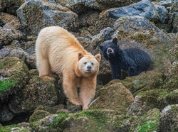 Spirit Bear Sow and Cub On Alert - Spirit Bear and her cub (Strawberry and Blackberry) pause from eating barnacles to focus on a disturbance off-shore. Great Bear Rainforest, British Columbia, Canada.