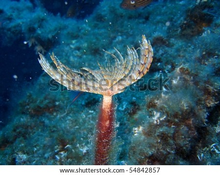 Spirobranchs