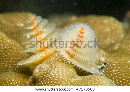 Spirobranchus giganteus,Christmas tree worms