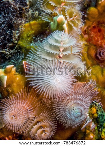 Spirobranchus giganteus, commonly known as Christmas tree worms, are tube-building polychaete worms belonging to the family Serpulidae #783476872
