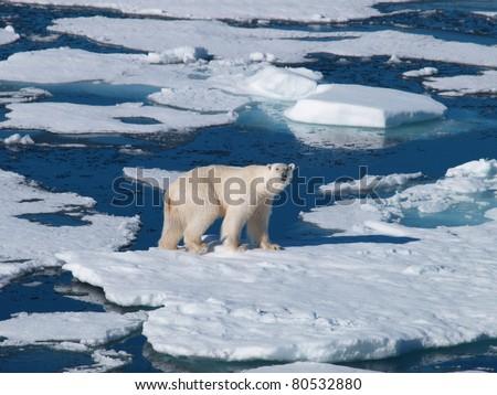 Spitsbergen Polar Bear on chunk of sea ice
