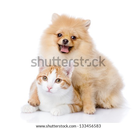 spitz dog embraces a cat. looking at camera. isolated on white background - stock photo