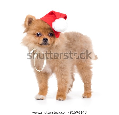 spitz-dog in New Year attire of Santa Claus