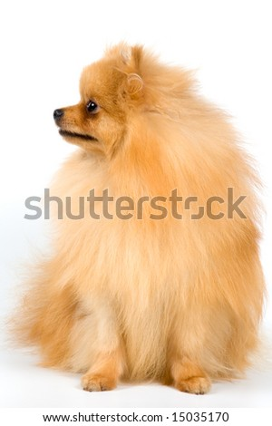 Spitz-dog in studio on a neutral background #15035170