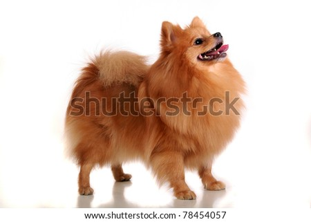 Spitz-dog playing in studio. Isolated on white - stock photo