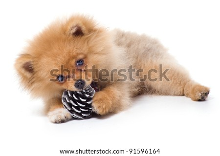 Spitz-dog playing in studio. Isolated on white