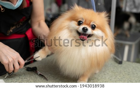 Spitz grooming. Paw trim. Grooming by a professional groomer in the salon.  Close angle. Appointment with the veterinarian. The groomer holds the dog with his hand. Happy dog at the groomer. Stock foto ©