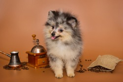 Spitz Merlen puppy on brown background and coffee accessories