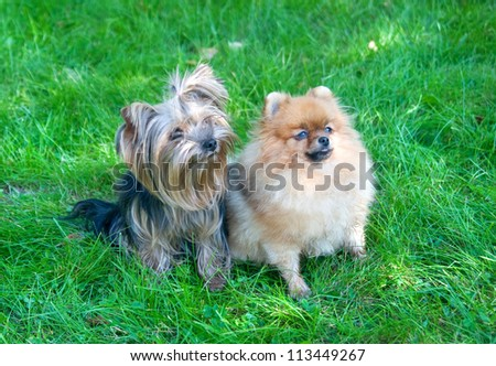 spitz, Pomeranian dog and Yorkshire Terrier in city park