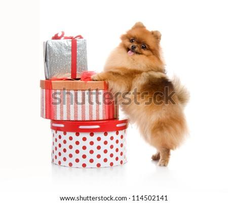 spitz, Pomeranian dog near gift-box, studio shot on white background