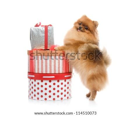 spitz, Pomeranian dog with gift boxes on white background, studio shot