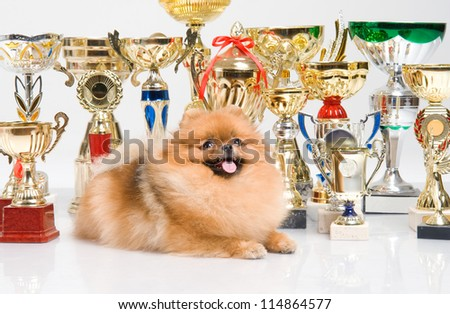 spitz, Pomeranian dog with golden cups on white background, studio shot