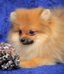 Spitz - pomeranian red dog portrait on blue background.