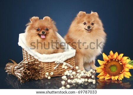 Spitz puppies with basket on dark-blue background