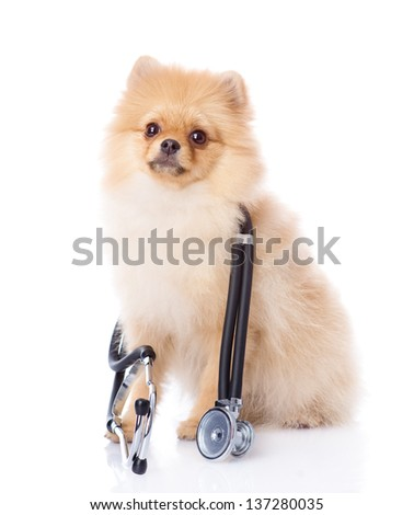 spitz puppy dog with a stethoscope on his neck. isolated on white background